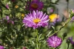 Aster novi-belgii Rosa Perle - Glattblattaster
