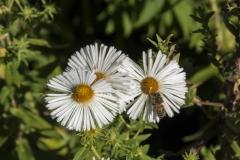 Aster novae-angliae Herbstschnee - Raublatt-Aster
