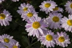 Chrysanthemum Indicum-Hybr. Hebe - Herbst-Chrysantheme