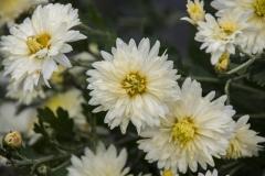 Chrysanthemum Indicum-Hybr. Kleiner Eisbär - Herbst-Chrysantheme