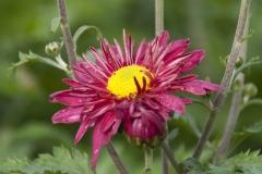 Chrysanthemum Indicum-Hybr. Oury - Herbst-Chrysantheme
