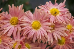 Chrysanthemum Indicum-Hybr. Zimtstern - Herbst-Chrysantheme