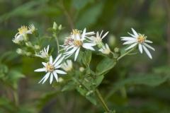 Aster macrophyllus Albus - Herzblatt Aster