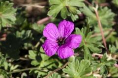Geranium cinereum ssp. subcaulescens Purpureum - Grauer Storchschnabel