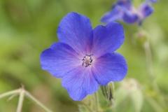 Geranium himalayense x pratense Spinners - Storchschnabel