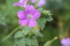 Geranium x oxonianum Lady Moore - Oxford-Storchschnabel