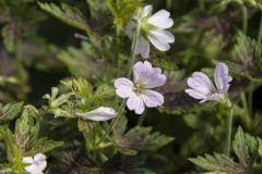 Geranium x oxonianum Katherine Adele - Oxford-Storchschnabel