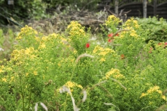 Hypericum perforatum - Echtes Johanniskraut