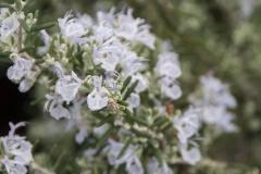Rosmarinus officinalis Mutters Bester - Rosmarin