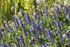 Salvia nemorosa Blauhügel - Steppen-Salbei