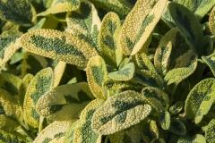 Salvia officinalis Icterina - Gelbbunter Gewürzsalbei