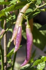 Aji Challuaruro Amarillo (BIO-Chilipflanze) - Schärfegrad 6