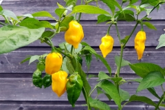 Habanero Hot Lemon (BIO-Chilipflanze) - Schärfegrad 10