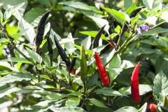 Maui Purple (BIO-Chilipflanze) - Schärfegrad 8