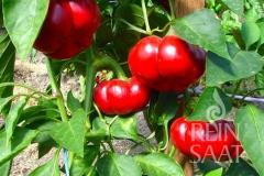 Paprika Paradeisfrüchtige Paprika - Pflanze (BIO), Schärfegrad 0