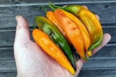 Pickles (BIO-Chilipflanze) - Schärfegrad 2-3