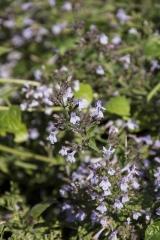 Calamintha nepeta ssp. nepeta - Echte Bergminze