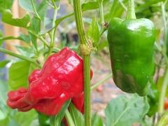 Pimiento de Padrón (BIO-Chilipflanze) - Schärfegrad 0-4