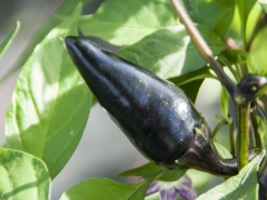 Purple Jalapeño (BIO-Chilipflanze) - Schärfegrad 7