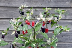Purple Tiger (BIO-Chilipflanze) - Schärfegrad 5-6