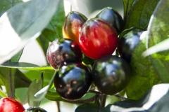 Black Cluster (BIO-Chilipflanze) - Schärfegrad 8