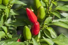 Sibirische Hauspaprika (BIO-Chilipflanze) - Schärfegrad 7