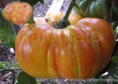 Ananas-Tomate (BIO-Tomatenpflanze)