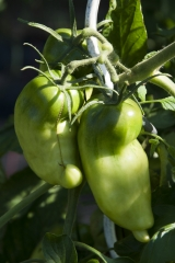 Andenhorn (BIO-Tomatenpflanze)