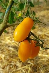 Tomate Banana Legs - Pflanze (BIO)