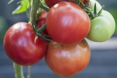 Berner Rose (BIO-Tomatenpflanze)
