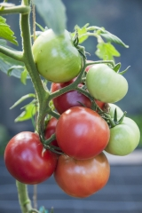 Tomate Berner Rose - Pflanze (BIO)