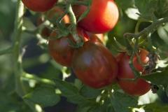 Black Plum (BIO-Tomatenpflanze)