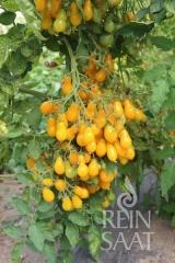 Tomate Dattelwein - Pflanze (BIO)