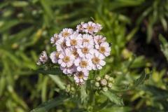 Achillea sibirica var. kamtschatica Love Parade - Sibirische Schafgarbe