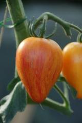 Georgia Streak (BIO-Tomatenpflanze)