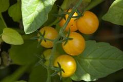 Golden Currant (BIO-Tomatenpflanze)