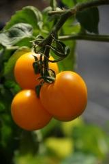 Goldene Königin (BIO-Tomatenpflanze)
