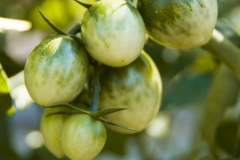 Green Grape (BIO-Tomatenpflanze)