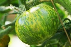 Green Zebra (BIO-Tomatenpflanze)