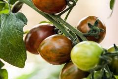 Tomate Italienische Weinbergtomate - Pflanze (BIO)