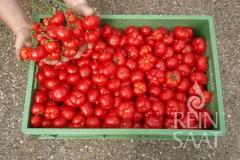 Marglobe (BIO-Tomatenpflanze)