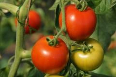 Matina (BIO-Tomatenpflanze)