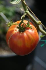 Ochsenherz (BIO-Tomatenpflanze)