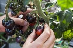 OSU Blue (BIO-Tomatenpflanze)