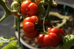Tomate Reisetomate - Pflanze (BIO)