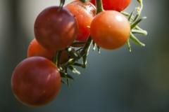 Rote Murmel (BIO-Tomatenpflanze)