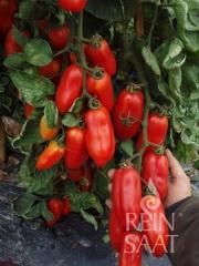 San Marzano (BIO-Tomatenpflanze)
