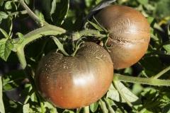 Tomate Schwarze Krim - Pflanze (BIO)
