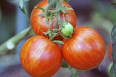 Tomate Tigerella - Pflanze (BIO)