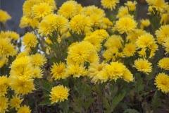 Chrysanthemum Indicum-Hybr. Oma Käthe - Herbst-Chrysantheme